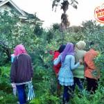 wisata petik buah apel bersama sahabat air, rafting batu malang_ (14)
